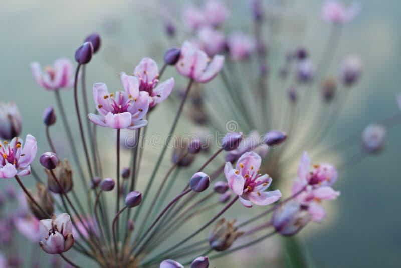 Menchii i mauve kwiaty zdjęcie stock