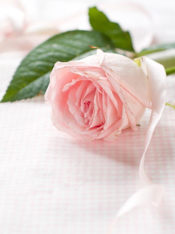 Menchii róża obrazy royalty free