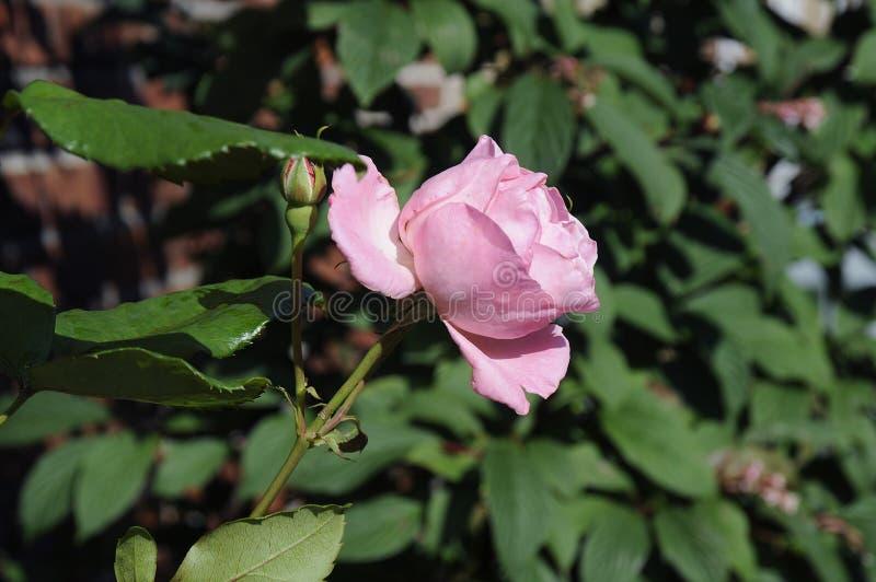 MENCHII róża FLWOER I rośliny zdjęcia royalty free