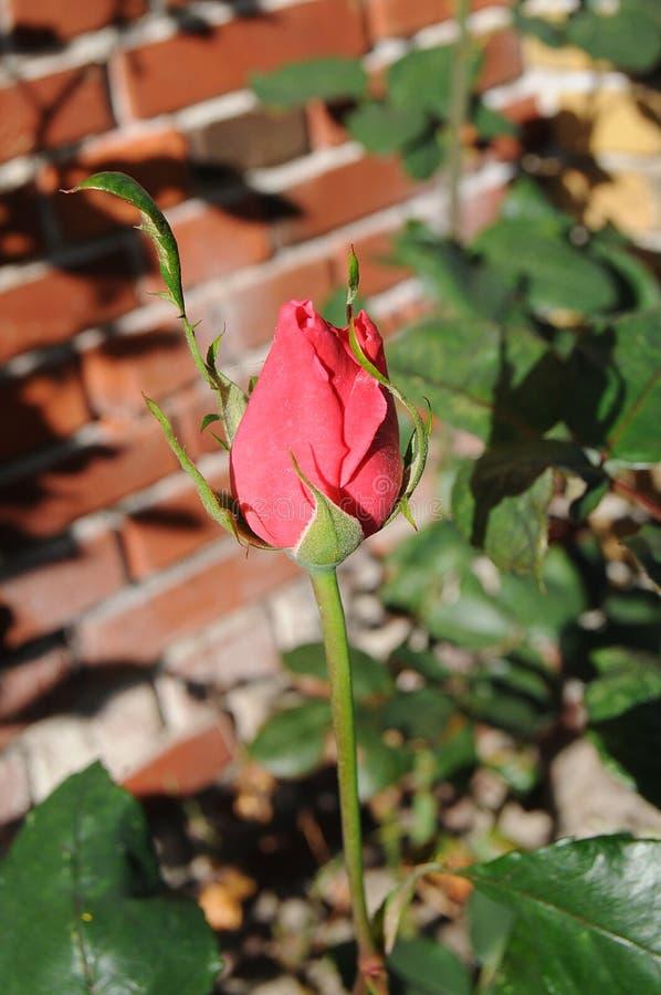 MENCHII róża I WZRASTAŁ rośliny fotografia royalty free