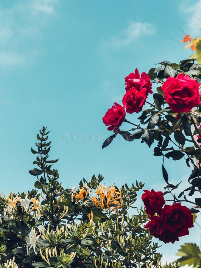Menchii róża kwitnie, zielone rośliny i niebo Malownicza natura obraz stock