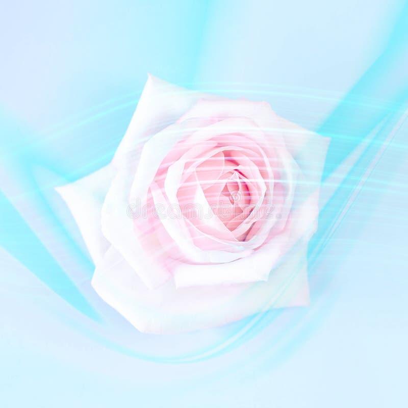 Menchii róża na błękitnym tle z modnymi neonowymi liniami zdjęcie royalty free