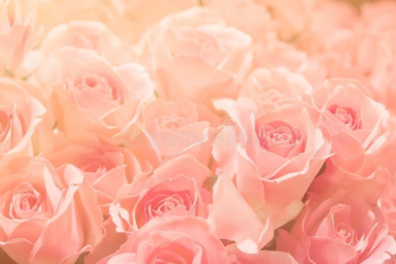 Menchii róża na różowym tle w miękkiej części i plamy filtrze dla backgr, obrazy stock