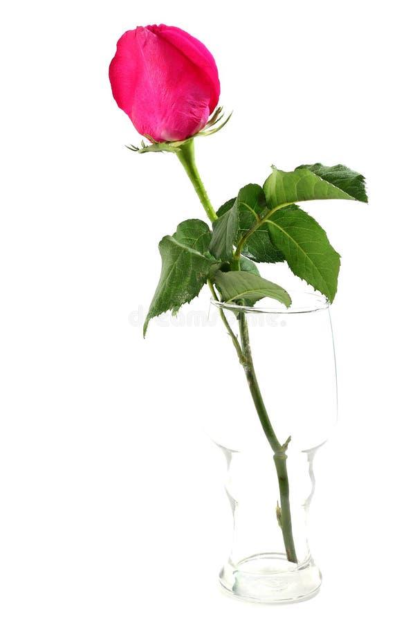 Menchii róża w szkle zdjęcia stock