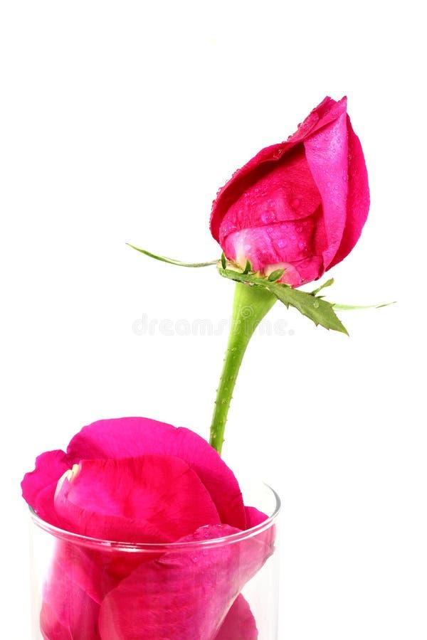 Menchii róża z kroplami i płatkami w szkle fotografia stock
