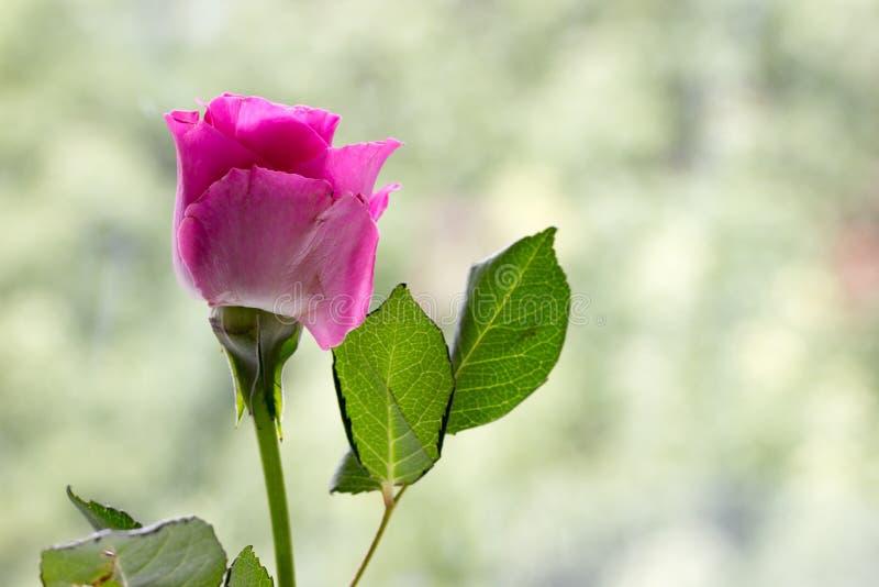 Menchii róża z pastel zieleni tłem zdjęcia stock