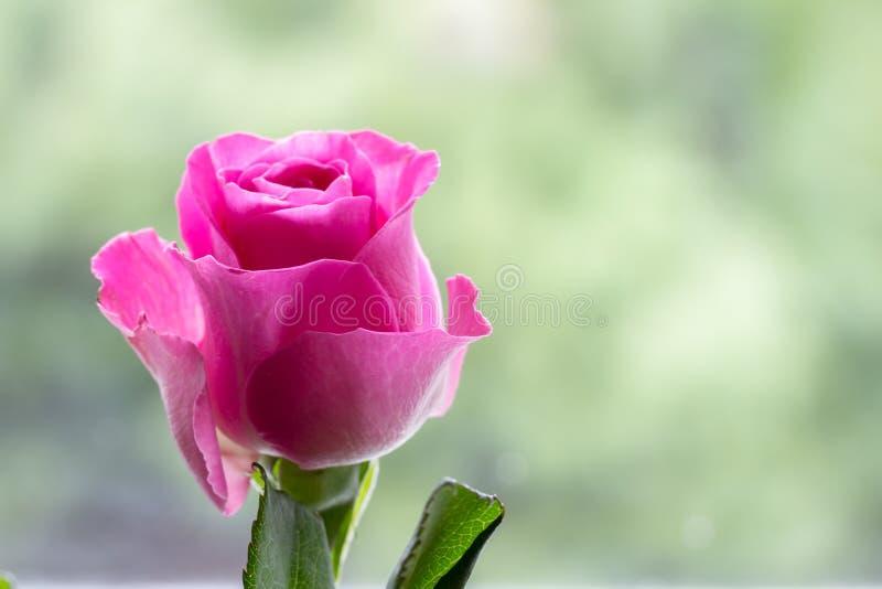 Menchii róża z pastel zieleni tłem obraz stock