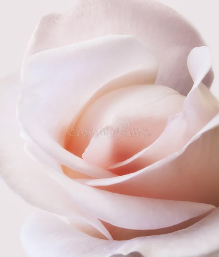 Menchii róży koloru miękki zakończenie up zdjęcia royalty free