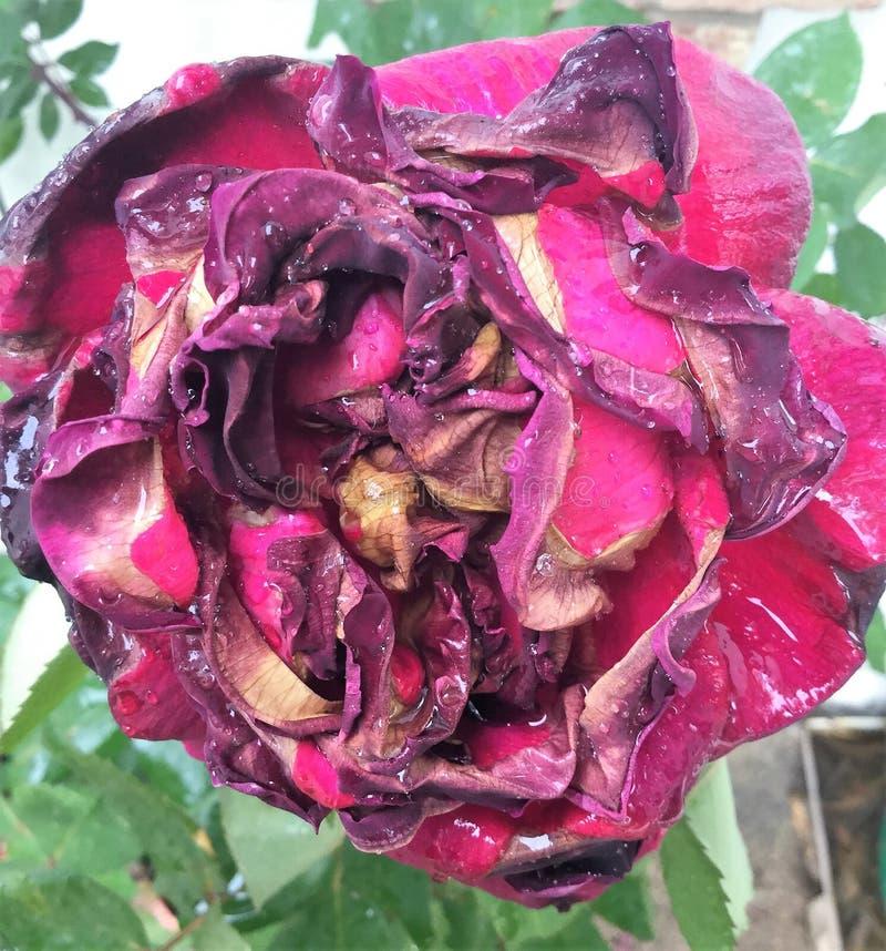 Menchii róży konanie zdjęcie stock