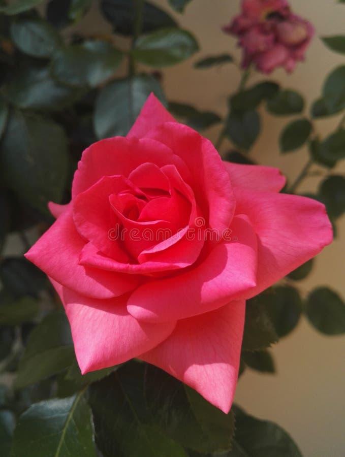 Menchii róży krzak z dużymi dwoistymi kwiatami fotografia stock