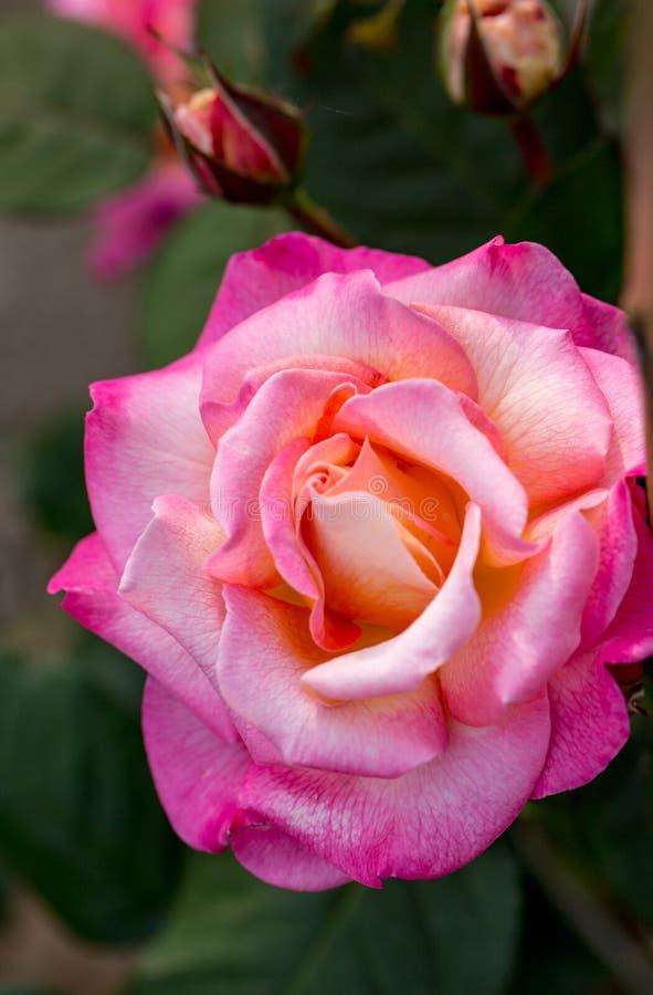 Menchii róży kwiat na gałąź w ogródzie zdjęcia royalty free