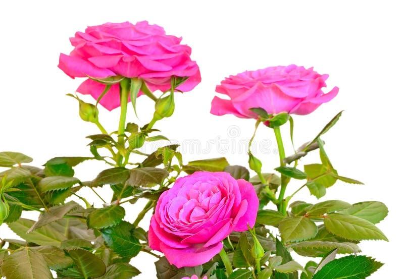 Menchii róży kwiaty zdjęcia stock