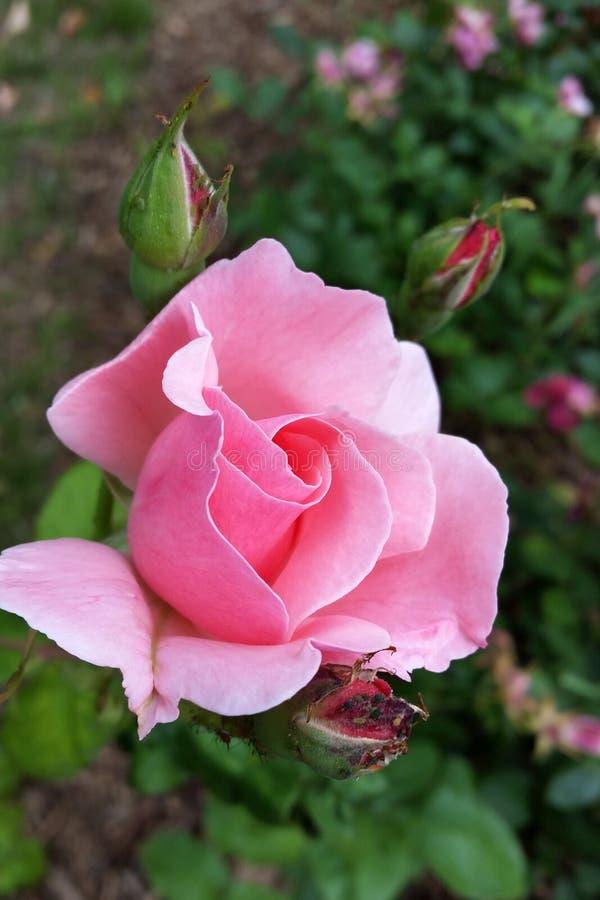Menchii róży kwitnienie zdjęcie royalty free