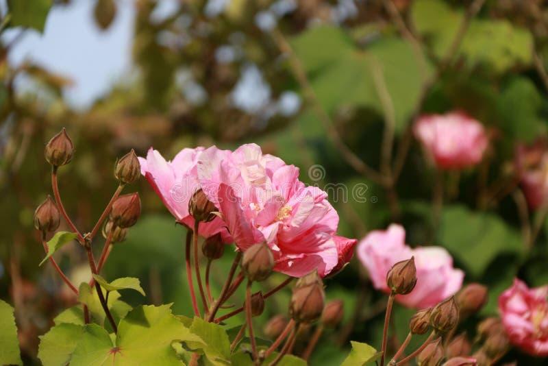 Menchii róży kwitnienie na drzewie kłujący krzak lub krzak który typowo znoszą czerwieni, menchii, koloru żółtego lub białych fra zdjęcia royalty free