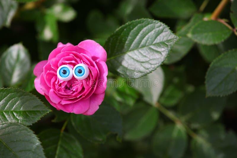 Menchii róży oczu lata ogród zdjęcia stock