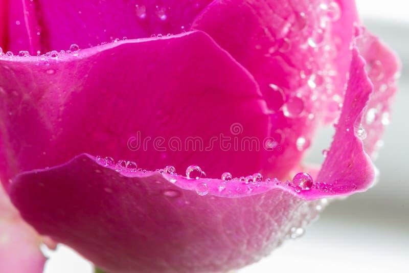 Menchii róży płatek z wodnymi kropelkami na płatku obraz royalty free
