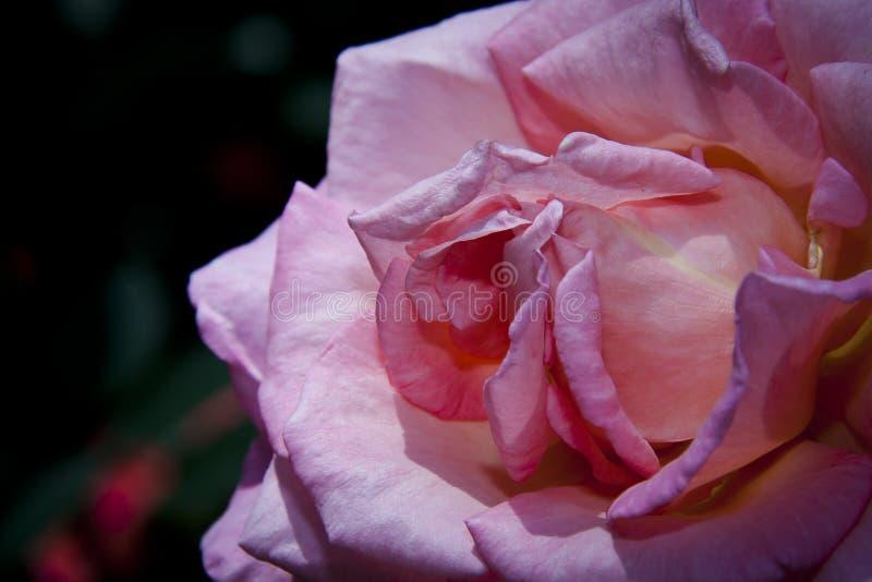 Menchii róży pełny kwiat zdjęcia royalty free