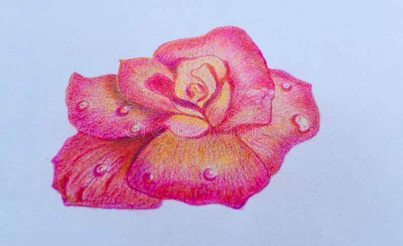 Menchii róży rysunek na białego papieru tle, patrzeje pięknym Dla para kochanków na walentynki ` s dniu obraz stock