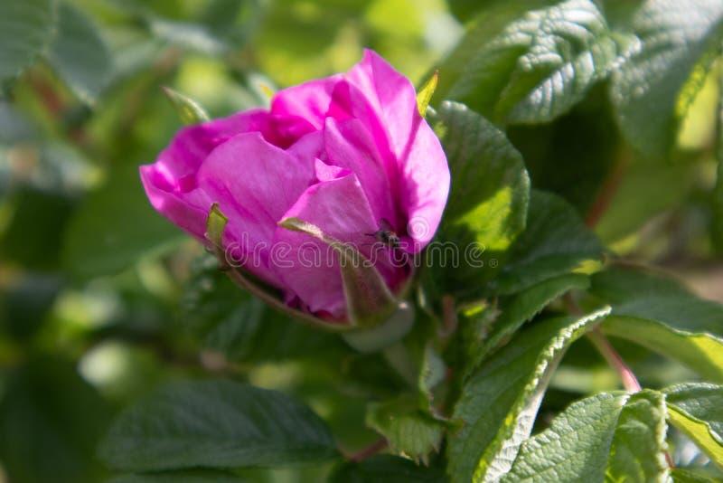 Menchii róży tiwh odrobina lata zdjęcia royalty free