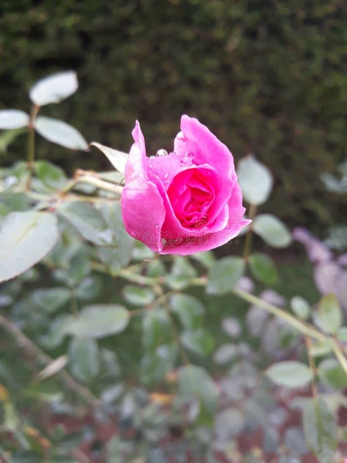 Menchii róży zbliżenia Kwitnący spojrzenie w ogródzie fotografia stock
