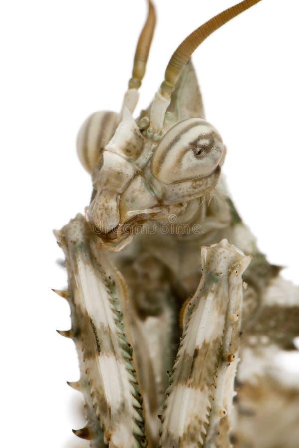 Mendica fêmea de Blepharopsis, louva-a-deus da flor do diabo imagem de stock