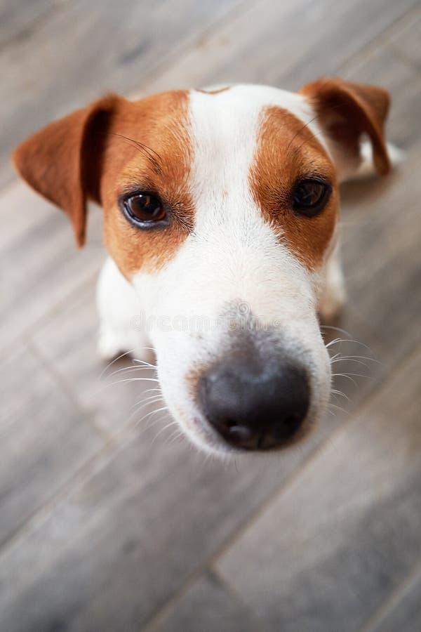 Mendigar Jack Russell Terrier foto de stock royalty free