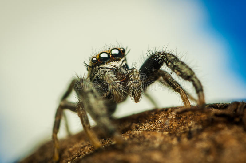 Mendoza Canestrinii Jumping Spider Stock Photos