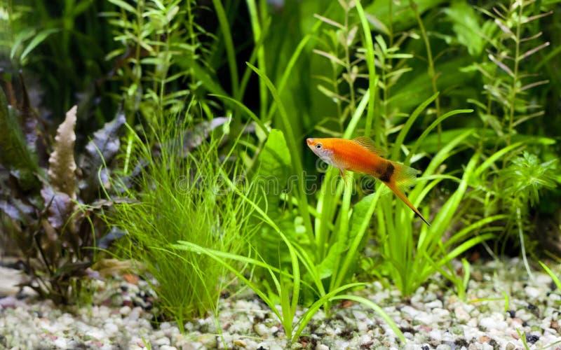 Meneo rojo Swordtail foto de archivo libre de regalías