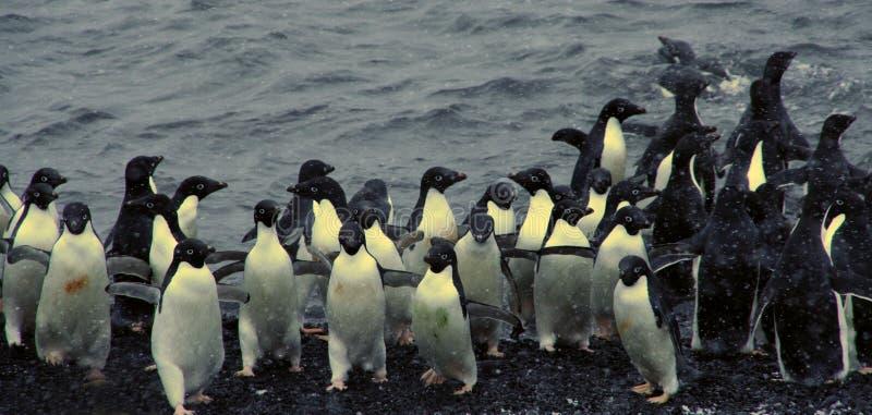 Menge der Adelie-Pinguine, aus das Wasser herauskommend lizenzfreie stockbilder