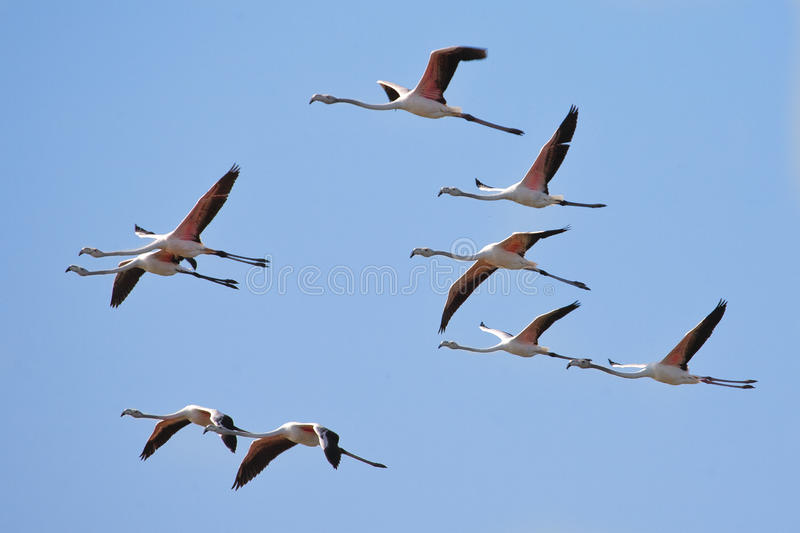 Menge der Flamingos stockfotografie