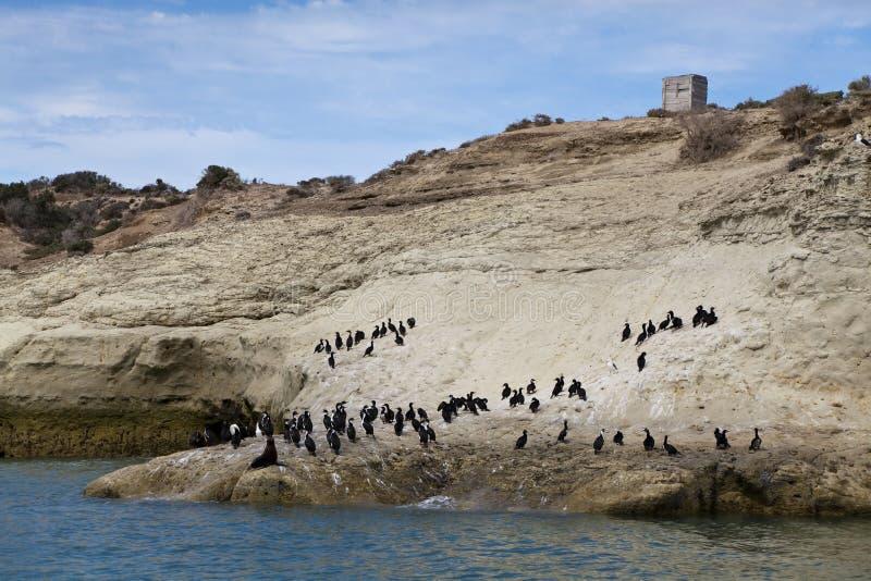 Menge der Kormorane und eines einsamen Seelöwes stockbild