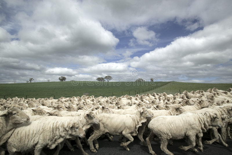 Menge der Schafe stockfotos