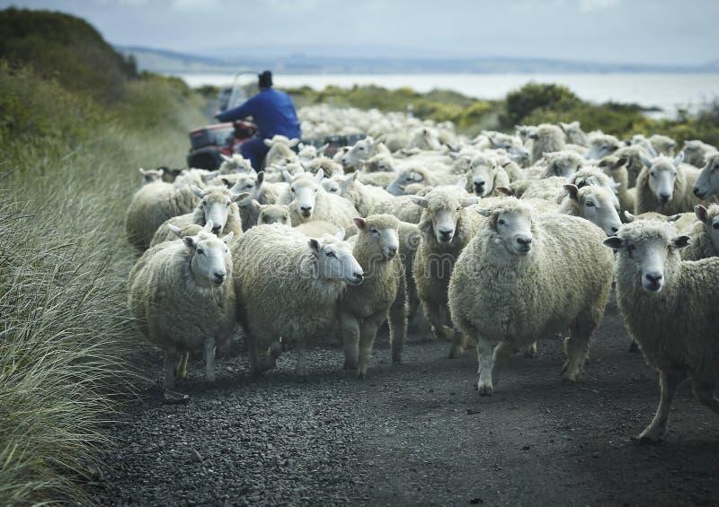 Menge der Schafe auf einer Straße mit Schäferhund lizenzfreie stockfotos