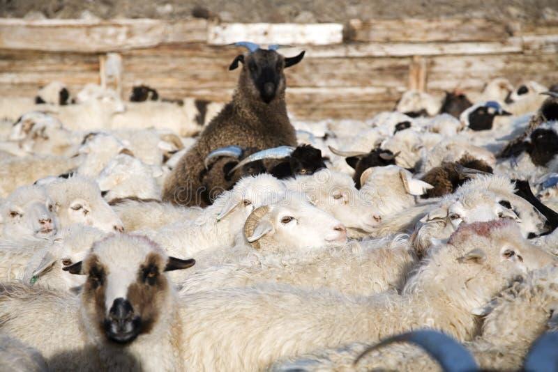 Menge der Schafe mischte mit Ziegen lizenzfreie stockfotos