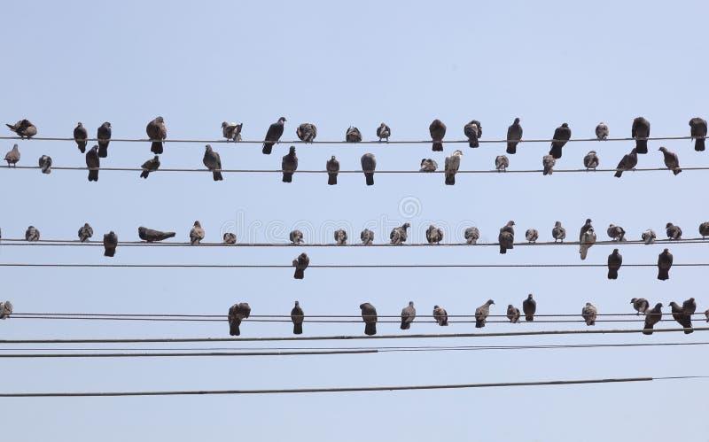 Menge der Tauben auf Drähten. Rangun. Myanmar. lizenzfreie stockbilder