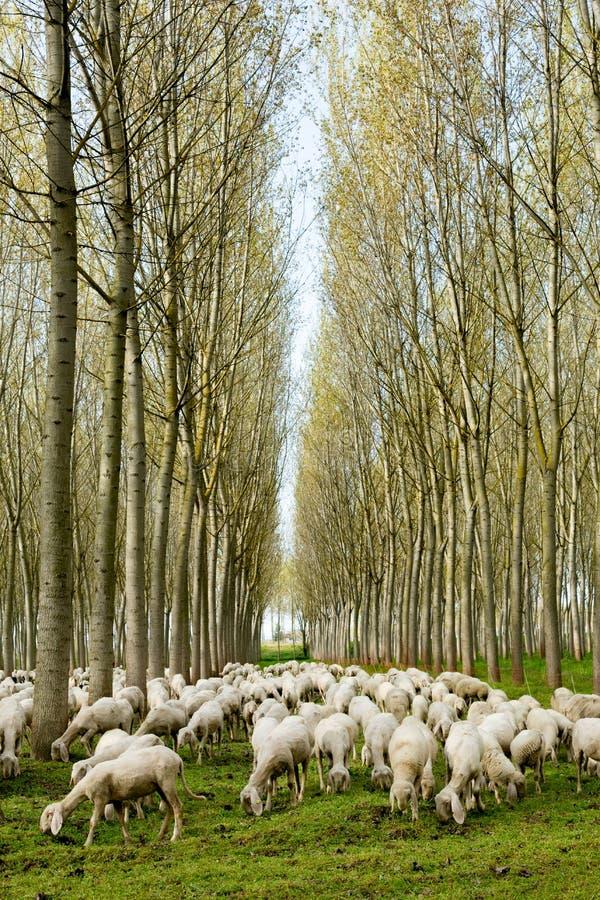 Menge der weiden lassenden Schafe lizenzfreies stockfoto