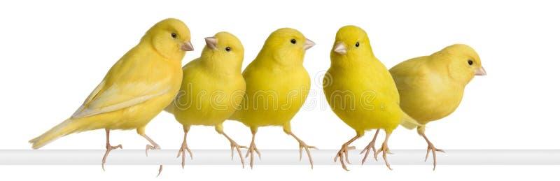 Menge des gelben Kanarienvogels - Serinus Canaria auf seinem PET stockbild