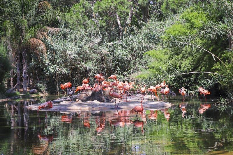 Menge des rosa Flamingos im Park stockfotos