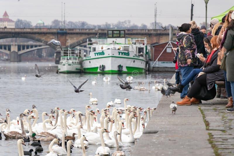 Menge des Schwans am Naplavka-Riverbank in Prag lizenzfreie stockfotos
