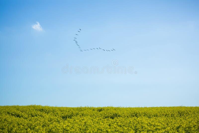 Menge des Vogels fliegend über Feld stockbild