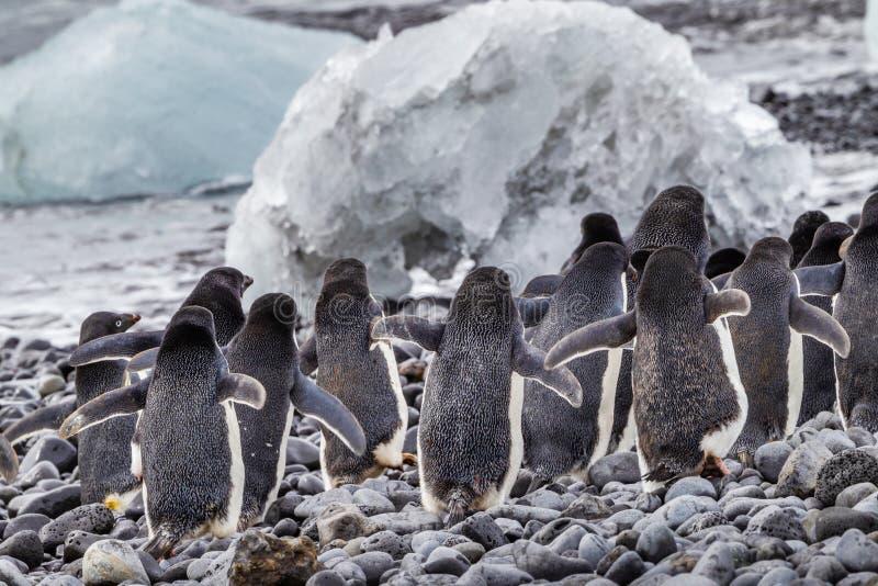 Menge von Adele-Pinguinen laufen gelassen vom Meer stockfotografie