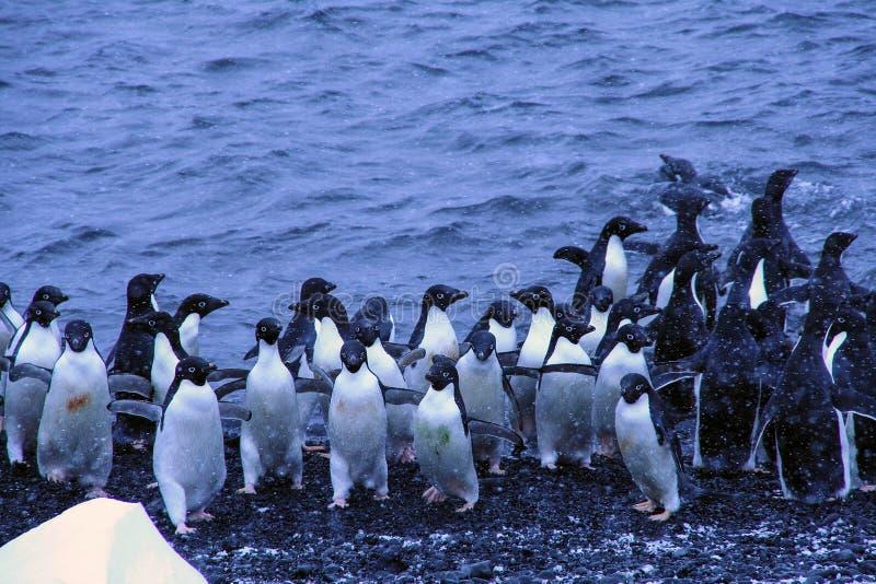 Menge von Adelie-Pinguinen stockbild