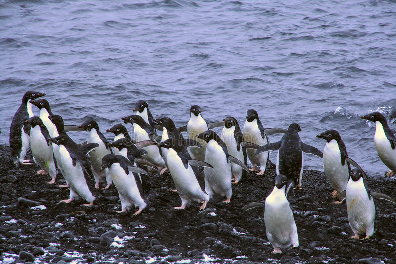 Menge von Adelie-Pinguinen lizenzfreies stockfoto