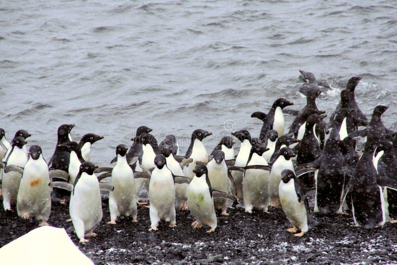 Menge von Adelie-Pinguinen, aus das wate herauskommend stockfoto