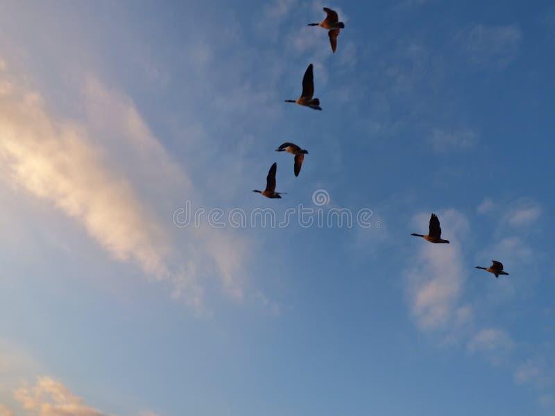Menge von den Gänsen im Flug, welche die v-Bildungsfliege über einem See, Foto eingelassen Großbritannien tun stockfotos