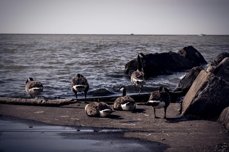 Menge von den kanadischen Gänsen, die auf Ufer vom Eriesee in Cleveland, Ohio sitzen stockbild