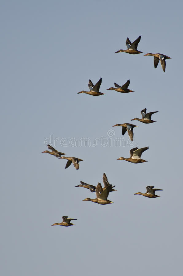 Menge von den Nordlöffelenten, die in einen blauen Himmel fliegen stockfotos