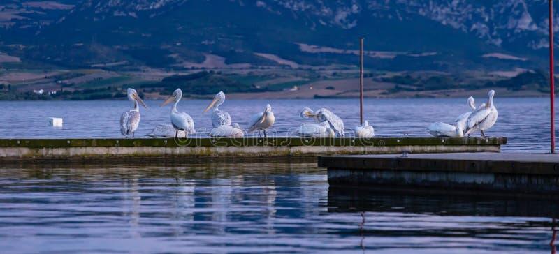 Menge von den Pelikanen, die auf Pier durch das Meer, Fahne, Tapete sich putzen und stillstehen lizenzfreie stockbilder