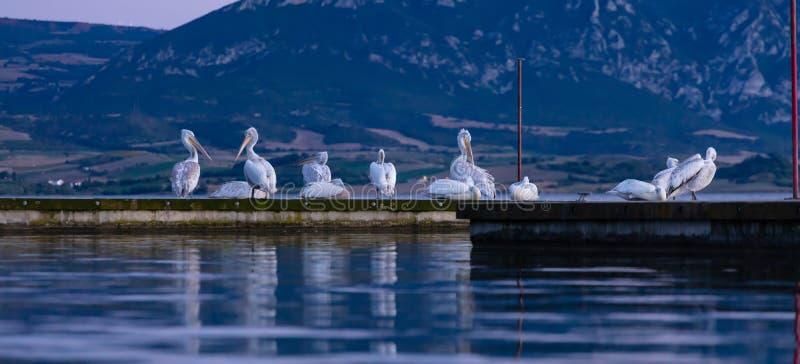 Menge von den Pelikanen, die auf Pier durch das Meer, Fahne, Tapete sich putzen und stillstehen stockfoto
