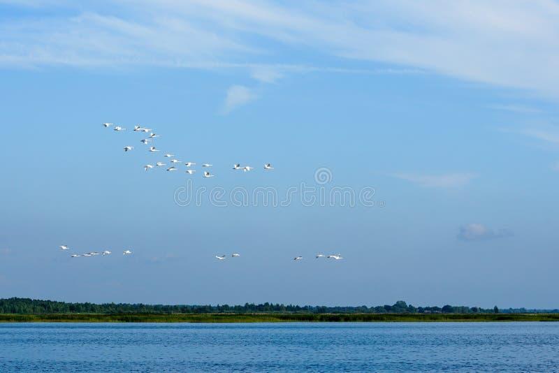 Menge von den Schwänen, die über einen See fliegen lizenzfreie stockbilder